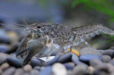 蝲蛄和小龙虾的区别 蝲蛄跟小